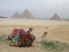 giza pyramids camels tours